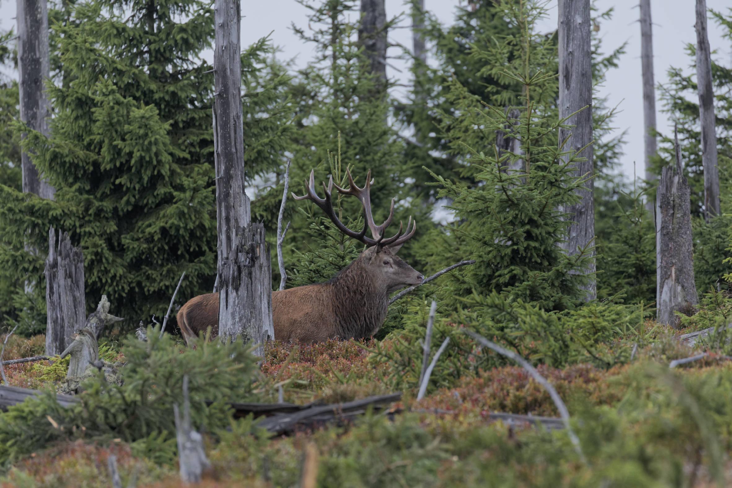 Im Harz brüllen die Hirsche – Bilder von der Hirschbrunft